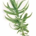 herb french tarragon-thumb
