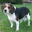 Beagle110
