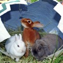 Big Bunnys i585