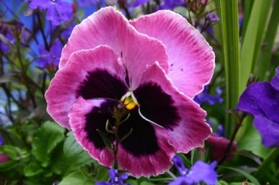 Edible pansy.